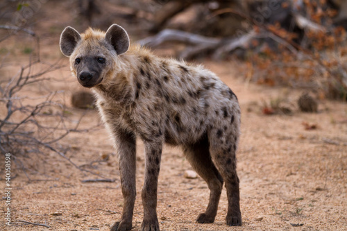 In de dag Hyena hyena walking in the bush of kruger national park