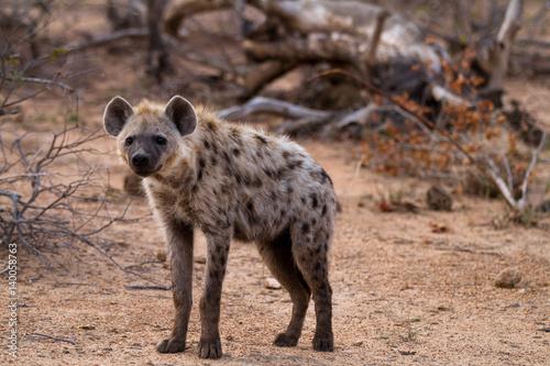 Poster Hyène hyena walking in the bush of kruger national park