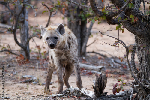Poster Hyène hyena walking in the bush of kruger national park