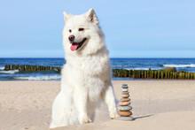 White Dog Samoyed And Rocks Zen On The Beach.