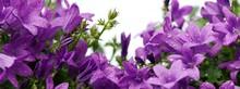 Purple Dalmatian Bellflowers (...