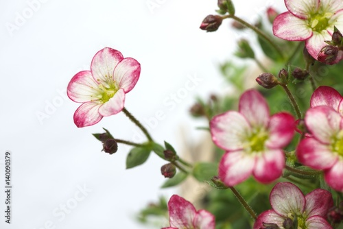 Closeup Of White Mossy Saxifrage Flowers With Pink Tips Isolated On
