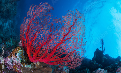 Staande foto Koraalriffen Red Sea Fan