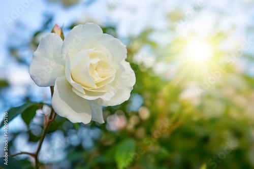 Obrazy wieloczęściowe biała róża na tle słońca