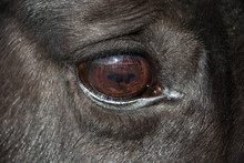 Close-up On A Horse Eye