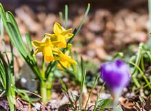 Miniature Daffodils, Narcissus...