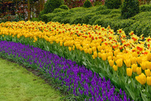 Muscari Armeniacum, Tulipa Can...