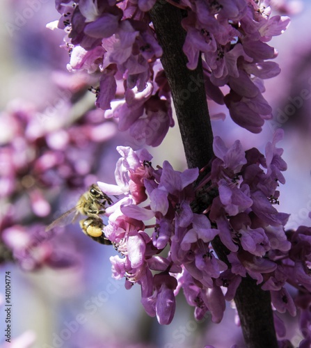 Fotografie, Obraz  Closeup of a Bee on pink Redbud tree flowers