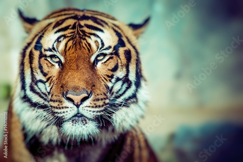 close up of a tigers face buy this stock photo and explore