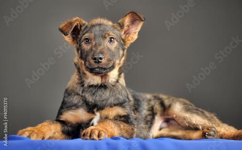 Foto Puppy mongrel in the studio
