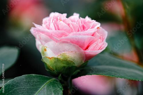 Fotografie, Tablou Rosa Kamelie - Camellia japonica L.  'Debutante' Theaceae