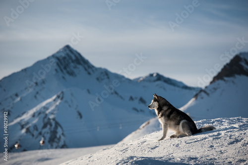 Aluminium Prints Dark grey Husky portrait with village and mountains in background. Georgia, Gudauri