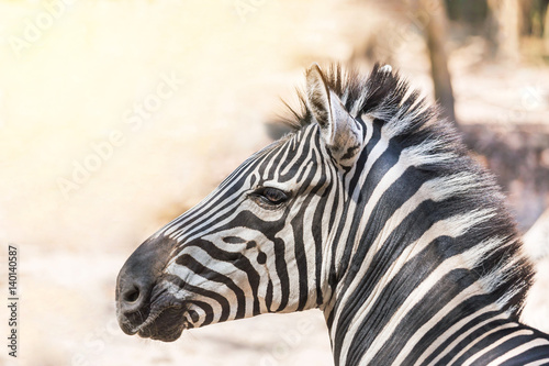 close-up-head-gf-plains-zebra