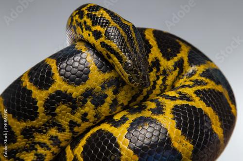 Photo Crawling yellow black anaconda