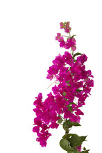 Bougainvilleas Isolated On Whi...