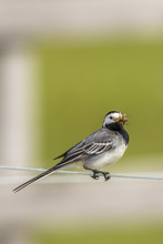 Wagtail With Its Beak Full Of Mosquitoes Sitting On A Wire