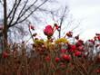 Roseship