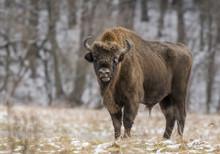 European Bison (Bison Bonaus)