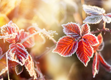 Red Autumn Leaf With Hoarfrost