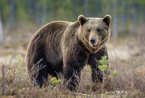 Brown Bear (Ursus arctos) on the swamp in spring forest.