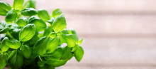 Fresh Basil Leaves, Herb With Water Drops And Sunlight On White Background. Macro. Close Up. Copy Space. Banner.