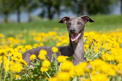Canvastavla Portrait of nice italian greyhound