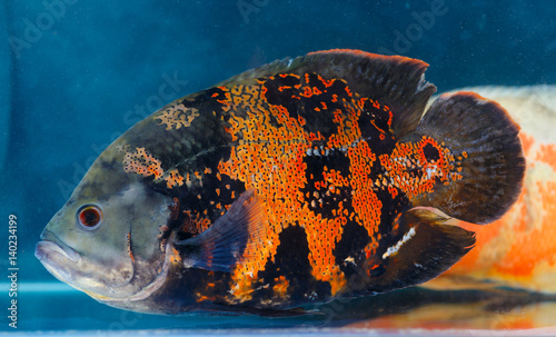 Fotografie, Obraz  Astronotus ocellatus (Oscar fish) - the aquarium fish