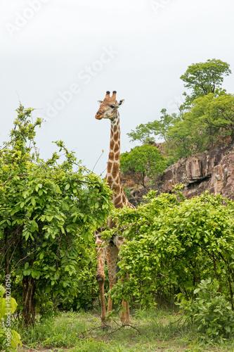 Giraffe spielt verstecken Poster