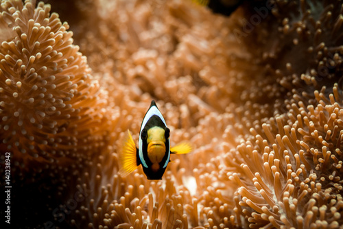 Photo  Red Sea Clownfish