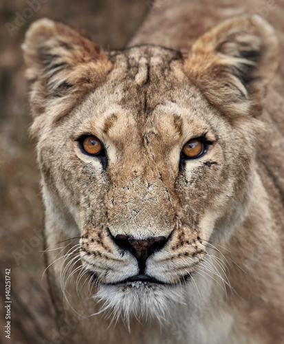 Photo Portrait of a lioness. Close-up African lioness (Panthera leo)