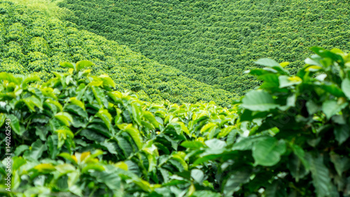 Photo  Coffee Plantation