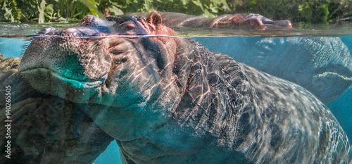 Hippo Encounter Wallpaper Mural