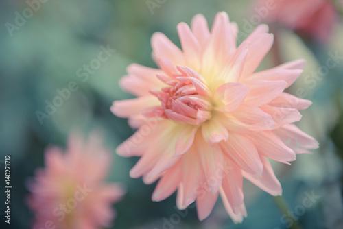 Poster Waterlelies colorful of dahlia pink flower in Beautiful garden