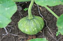 Green Pumpkin Growing On The V...