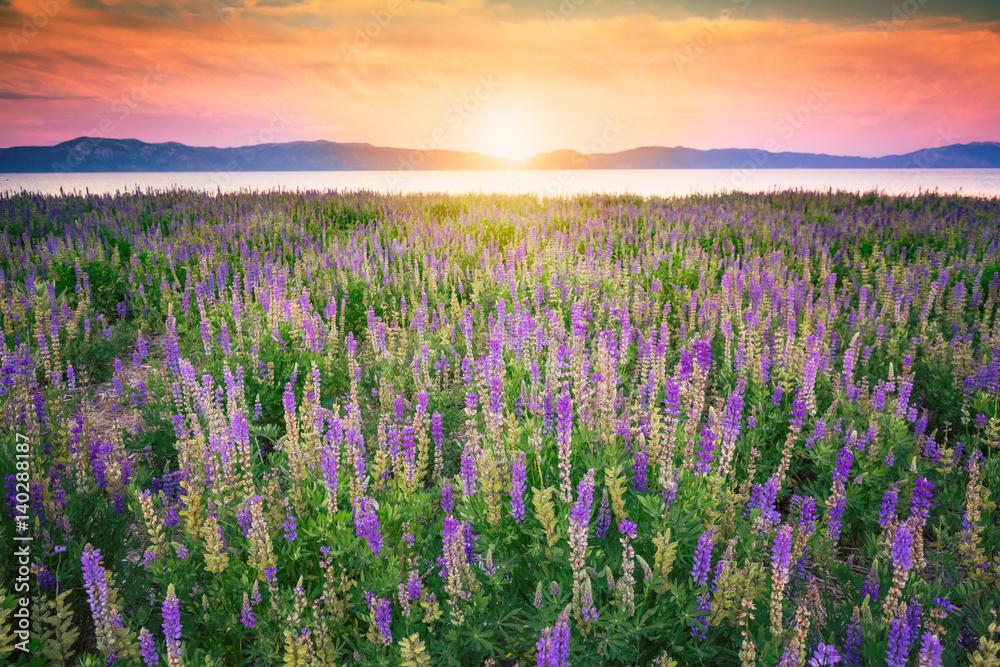 Fototapety, obrazy: Pole kwiatów o zachodzie słońca