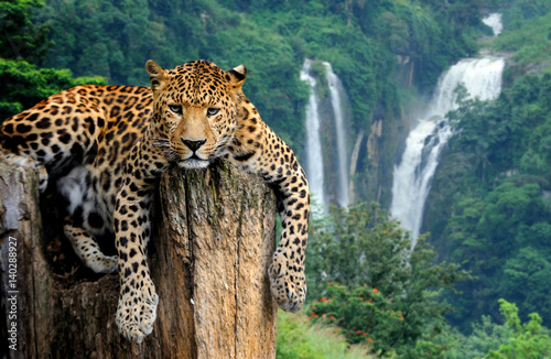 Poster Luipaard Leopard on waterfall background