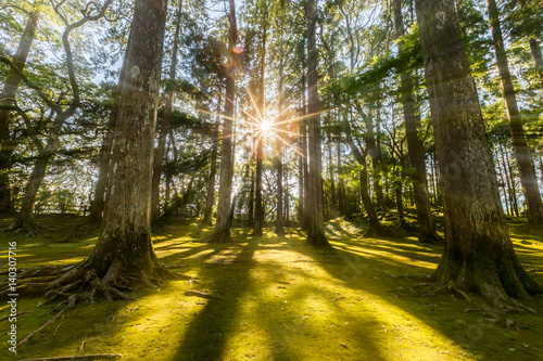sun ray coming through pine forest in Obi, Kyushu, Japan Tablou Canvas