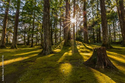 sun ray coming through pine forest in Obi, Kyushu, Japan Wallpaper Mural