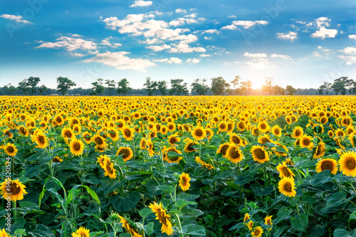 sunflower-field-in-the-rays-of