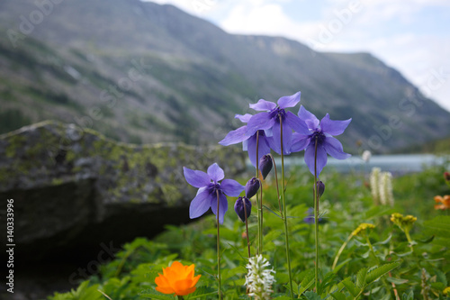 Leinwand Poster Mountain landscape with blooming aquilegia.