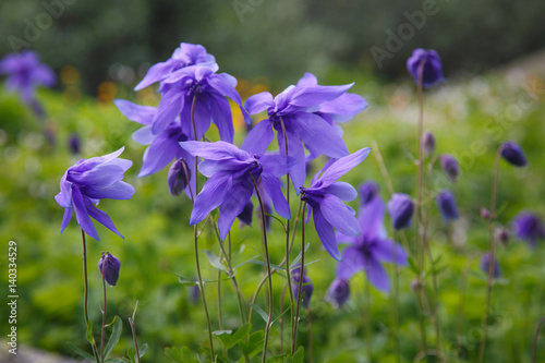 Photo Flowers of mountain aquilegia of violet color.