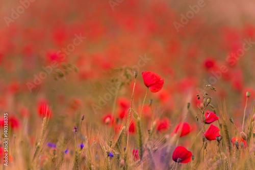 Foto op Canvas Koraal Meadow with beautiful bright red poppy flowers