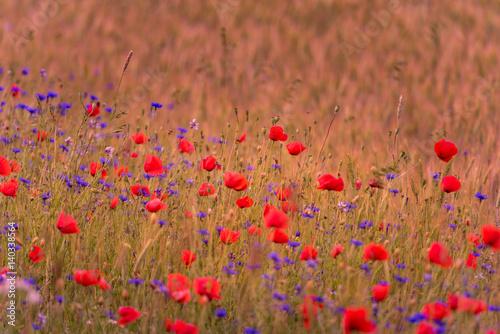 Foto op Canvas Koraal Wheat Field with beautiful bright red poppy flowers