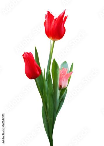 Foto op Plexiglas Tulp Three tulips isolated on white background.