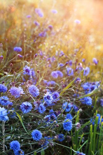 blekitni-cornflowers-na-zmie