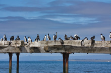 Cormorants On An Old Pier Agai...