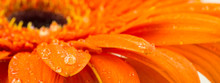 Beautiful Bright Orange Gerber In Macro