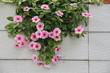 Fiori rosa e fucsia su fondo bianco