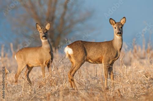 Foto op Plexiglas Ree Two wild roe deers in a field