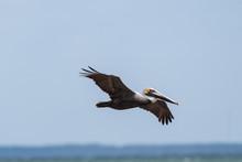 Young Brown Pelican (Pelecanus...